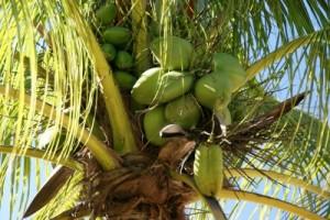 Kokosnussöl Thailand