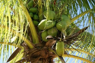 Kokosnussöl aus Thailand