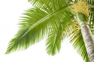Kokosöl Philippinen