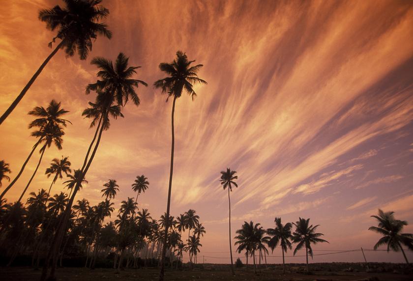 Kokosernte in Sri Lanka bedroht?